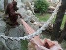 Dospívající orangutaní samec Gempa hrající si s mladší sestrou Diri