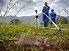 Cvičení krysích hrdinů na pozemcích tanzanské univerzity. Zkušenější hlodavci zamíří na minové pole.