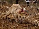 Díky špičkovému čichu krysy v Mosambiku zachraňují životy.