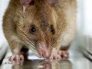 Některé krysy pracují v terénu, jiné v laboratořích. Místo nášlapných min odhalují tuberkulózu.