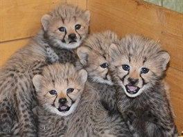 Gepardí paterčata se narodila v říjnu 2014.