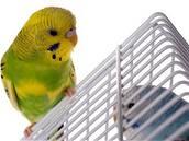 Papoušek, andulka - ilustrační foto