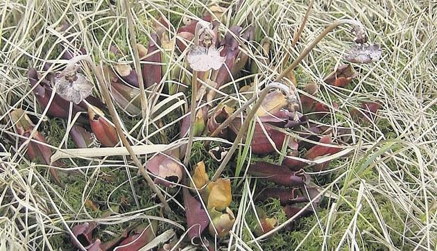 Exotická špirlice nachová byla objevena u rybníka Řásník nedaleko Křižánek na Vysočině.