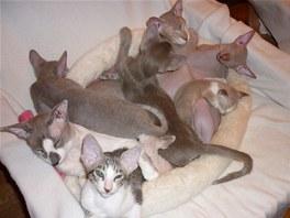 Směs koček plemene peterbald