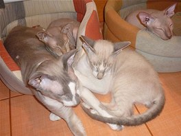 Kočky plemene peterbald
